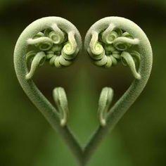 #heart #わらび  きれいにハートですね。(^^)来週はバレンタインだからか、ハート模様が目立ちます。