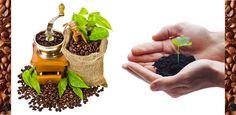 So gelingt es: Kaffeepflanzen in Deutschland selbst züchten, anbauen und pflegen - Kaffee Journal