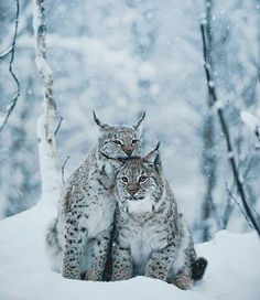Nature Animals, Animals And Pets, Baby Animals, Cute Animals, Big Cats, Cats And Kittens, Cute Cats, Beautiful Cats, Animals Beautiful