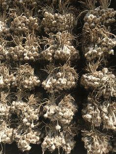 A la fin du mois d'août j'ai eu le plaisir de visiter près de Valence des producteurs d'ail et de semences d'ail de la Drôme. Raphael Reboul Président de l'Association… Valence, Holiday Decor, Garlic