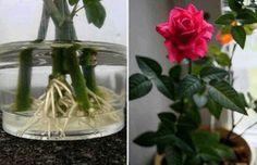 1) Do 1 litru vody dejte čajovou lžičku droždí. Spodní část růže (ne tu, kterou jsme natřeli voskem) dejte do vody. 1/3 stonku ponořte do vody a nechte ji tam 1 den. Potom stonek opláchněte vlažnou vodou a dejte do láhve tak, aby polovina stonku byla ve vodě. Vždy dolívejte vodu, aby byla vždy polovina …