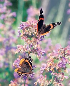 Black butterflies with orange and white patterns.