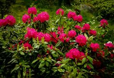 Buy Red Rhododendron Nova Zembla Online. Arrive Alive Guarantee. Free Shipping On All Orders Over $99. Immediate Delivery.