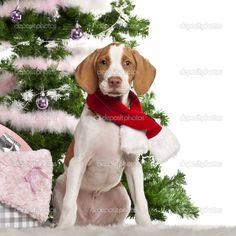 Braque Saint-Germain Pointing Dog