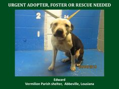 ***SUPER SUPER URGENT!!!*** - PLEASE SAVE EDWARD!! - EU DATE: 3/12/2015 -- Edward Breed:Pit Bull Terrier Age: Adult Gender: Male Size: Medium Location: Kaplan, LA  Read more at http://www.dogsindanger.com/dog/1425572142550#IzdW7Dk68zR5xW5J.99 - If you have any questions please contact us at animalaidvermilion@gmail.com or (337) 366-0212 or visit our website animalaidvermilionarea.com for more information