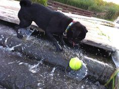 Pug Ball Water Pugs, Water, Animals, Gripe Water, Animales, Animaux, Animal, Animais, Pug Dogs