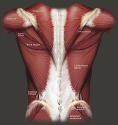 The anatomy of the back and all the muscle that I love to target during my workouts #BuildMuscle