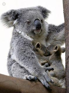 Twin koala joeys