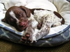 Our new German Shorthaired Pointer pup Gsp Puppies, Pointer Puppies, Pointer Dog, Cute Puppies, Cute Dogs, Weimaraner, Baby Animals, Cute Animals, German Shorthaired Pointer
