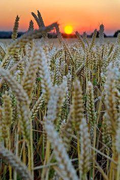 Barley Sunset, France photo via cassie