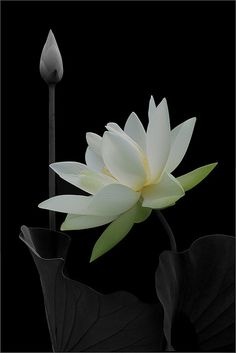 βℓαᏣƙ Ɓαcкgяσυη∂ (White Lotus Flower and Bud -- by Bahman Farzad) White Lotus Flower, White Flowers, Exotic Flowers, Beautiful Flowers, Planting Flowers, Just For You, Floral, Plants, Unalome