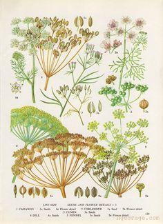 Spice Plant Botanical Print  ~ AgedPage on Etsy