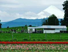 El camino nos regaló un campo hermoso de tulipanes con el Volcán Osorno y el Volcán Puntiagudo de fondo. Acomodados perfectamente para formar una postal inolvidable.  #Chile #RegionDeLosLagos  #ViajarEnPareja #ViajarEnAuto