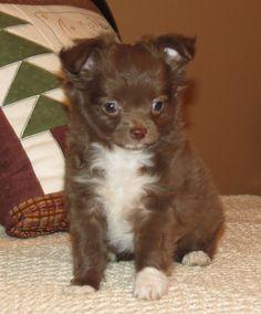 Will x Raisin - Chocolate longcoat male Chihuahua puppy