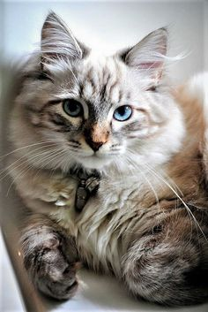 Maine Coon Adults Maine Coon Kittens For Sale Pretty Cats, Beautiful Cats, Animals Beautiful, Cute Animals, Pretty Kitty, Cute Kittens, Cats And Kittens, Ragdoll Cats, Hairless Cats