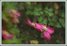 Clematis grace by mamietherese1, via Flickr