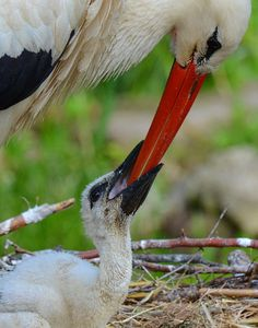 Mother stork feeding her baby by Turhan Topacogullari on Stork Bird, Baby Stork, Animals And Pets, Baby Animals, Blue Heron, Water Lilies, Wild Birds, Air Plants, Bird Art