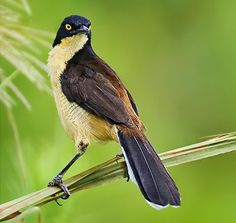 Birds of the World: Black-capped donacobius