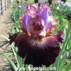 Image result for bearded iris ONE OF A KIND