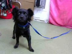 RESCUED! DEVORE,CA. EUTH LIST 11/06/17. Veronica ID#A684678. 3 yr. old female Long Haired Chihuahua. Rescue only. Behavior. Arrived 11/01/17.