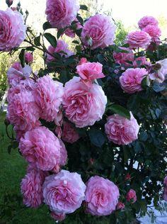 Sexy Rexy® - Floribunda Roses - Roses - Heirloom Roses, continous