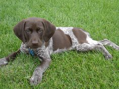 German Shorthair Pointer Pup..I WILL BE GETTING ONE WHEN I GET A HOME OF MY OWN!!! :)