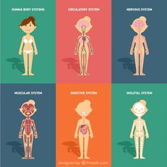 Human body systems in flat design Premium Vector Medical Illustration, Illustration Art, Human Body Systems, Human Anatomy, Body Anatomy, Anatomy And Physiology, Kids Corner, Teaching Science, Science Projects