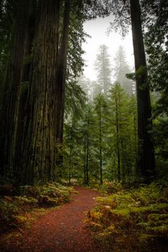 Coyote Atelier redwood love: Big Tree Trail, Humboldt Redwoods State Park, California by Gary Rides Bikes Humboldt Redwoods State Park, Humboldt County, Vegvisir, Redwood Forest, Tree Forest, Forest Trail, All Nature, Big Tree, Le Far West