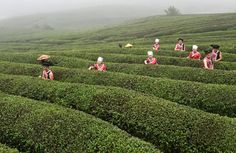 """Qiannan, China Tea growers pick leaves in Weng'an County  Photograph: Xinhua /Landov/Barcroft Media Source: The Guardian """"Photo highlights of the day"""""""