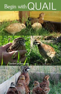 Have you considered starting your homestead with Quail? Raise quail for the purpose of eggs and meat. Coturnix and Bobwhite Quail enjoy a natural environment, get started at Garden Up Green