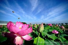 Flower of purity, the Lotus in Korean culture | The Korea Blog