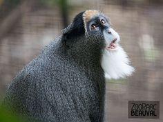 #Cercopithèque de Brazza  au ZooParc de Beauval