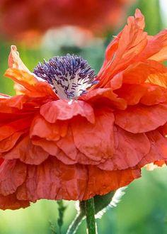 flowersgardenlove:  Sunny Day Poppy Beautiful gorgeous pretty flowers