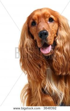 How To Interact With Dogs - Trasedogs English Cocker Spaniel, Pup, Terrier, Dogs, Animals, Spaniels, Animales, Dog Baby, Animaux