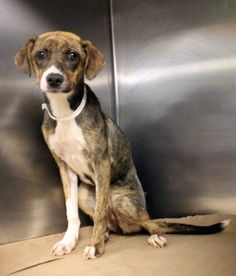 Maggie: Sweet 5-month-old beagle mix is out of time at high-kill SC shelter