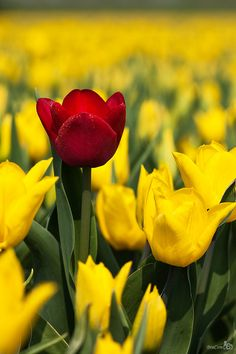 Red and Yellow Tulips, South Holland, Netherlands