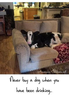 These Adorable Pics Will Prove Cows Are Basically Just Really Big Dogs Karakal: Is that the cutest cat species we have? Cute Baby Cow, Baby Cows, Cute Cows, Baby Farm Animals, Cute Little Animals, Cute Funny Animals, Really Big Dogs, Cute Big Dogs, Foto Cowgirl