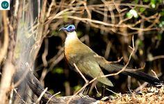 ☎️ https://www.facebook.com/WonderBirdSpecies/ 🍄🍄🍄  Giant coua (Coua gigas); Endemic to the dry forests of western and southern Madagascar; 📚 IUCN Red List of Threatened Species 3.1 : Least Concern (LC)(Loài ít quan tâm) 🐥 Coua lớn; Loài đặc hữu ở những khu rừng khô hạn miền tây và miền nam Madagascar; HỌ CU CU - CUCULIDAE (Cuckoos).