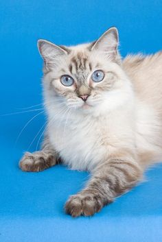 Seal Point Lynx Ragdoll. He looks just like my Dexter!