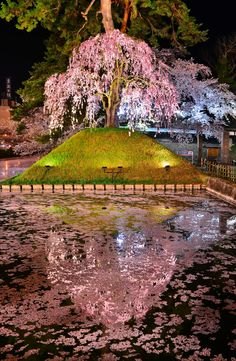 Cherry blossoms, Hirosaki Castle, Aomori, Japan