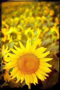 Sunflower photography yellow field Paris flowers fine art photograph French wall art home decor rustic print
