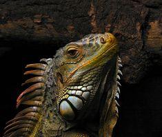 Iguana - Wikipedia, the free encyclopedia
