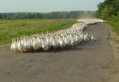 All that grass and the geese take the road
