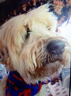 My Wheaten Terrier Smudge!