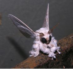 This Rare Photo Of A Venezuelan Poodle Moth | 20 Amazing Photos You Don't Want To Miss