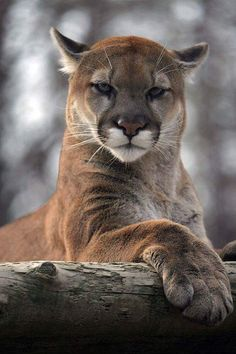 """""""Beautiful"""" ~~ My what big paws you have! Hmmm, better to swat you down with & eat you for lunch. I sure wouldnt second guess the look on this big kitty's face. The eyes say it all! She's Absolutely Gorgeous too! ~~"""
