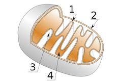 Mitochondrion - Wikipedia