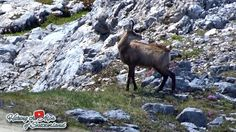 Lucky Video Action Shot of two Chamois (Rupicapra rupicapra) by HikingSwitzerland http://focusingonwildlife.com/news/lucky-video-action-shot-of-two-chamois-rupicapra-rupicapra/