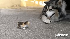Animated Photo lol...this husky is like...what is this little thing?! Ummm...hmmm