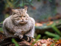 Don't touch me! - European wild cat Bayerischer Wald-Germany